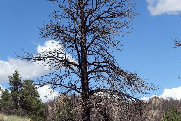 Baum nach einem Waldbrand