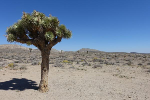 Weltweit einzigartig in der Mojave Wüste