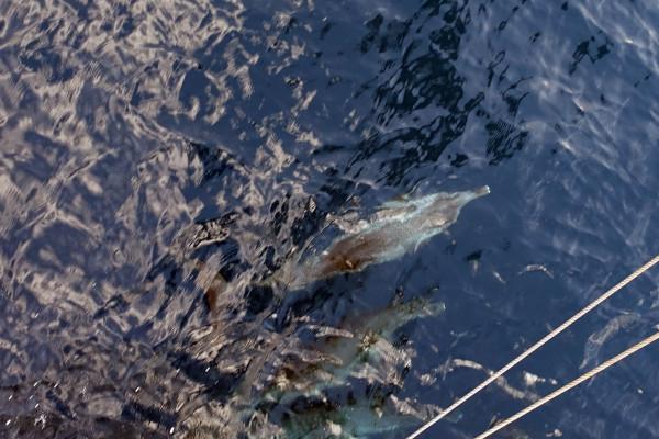 Delfine unter dem Klüvernetz