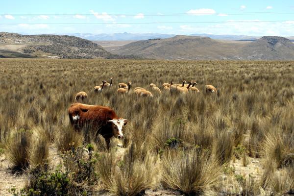 Vicuñas in den Anden